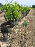 vigne-galets-chateauneuf.jpg